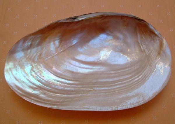 Exclusive Perlmutt - Kaviarschale - aus einer Perlmuschel - ca. 14,5 x 25 cm